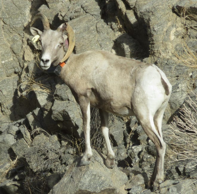 A Peninsular bighorn ewe was spotted recently with a broken horn.