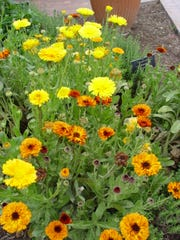 Calendula is a most-appropriate flower to grow at World War I memorial sites as it may have saved many lives.