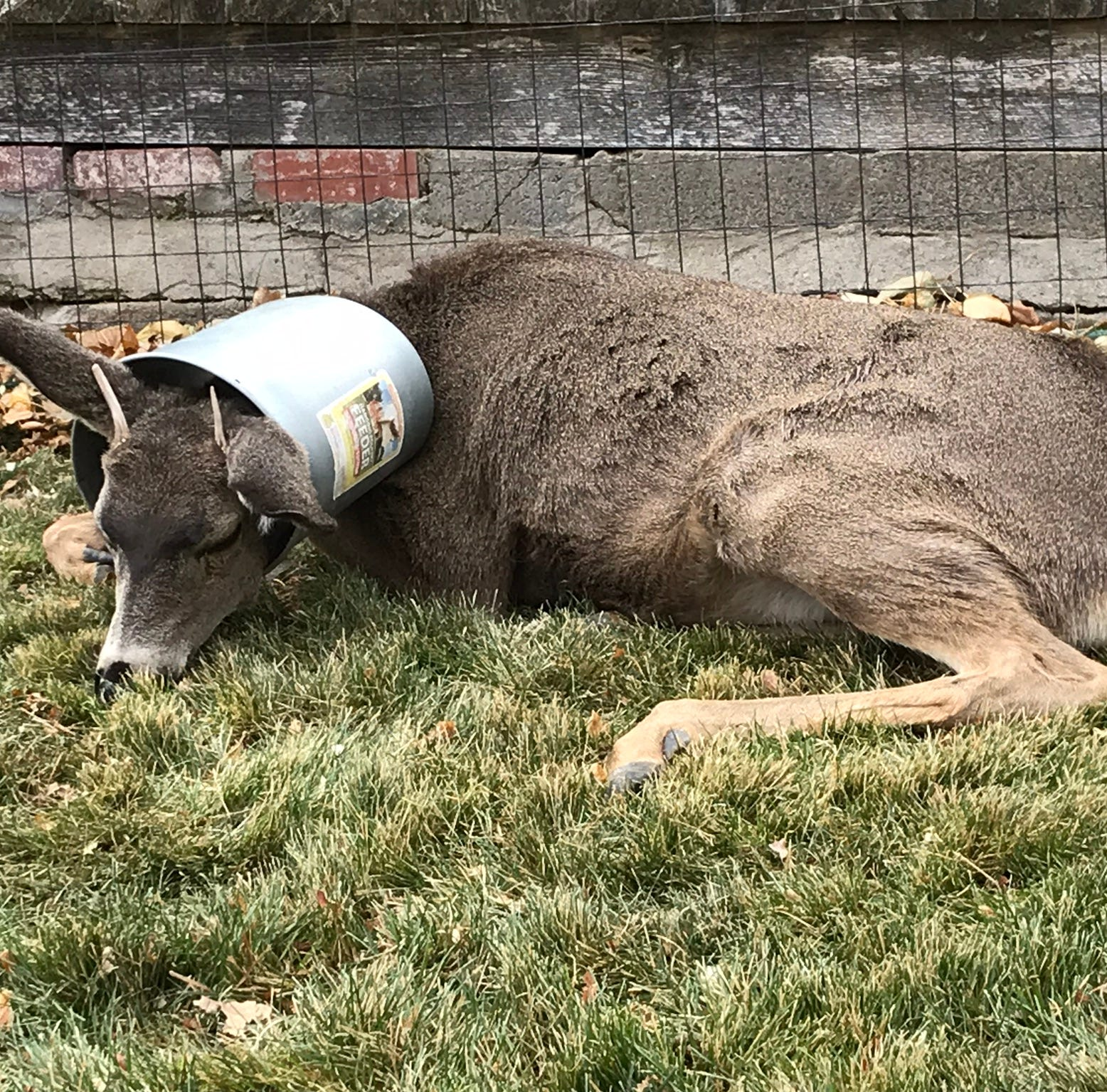 Biologists bail deer out of bucket-related jam