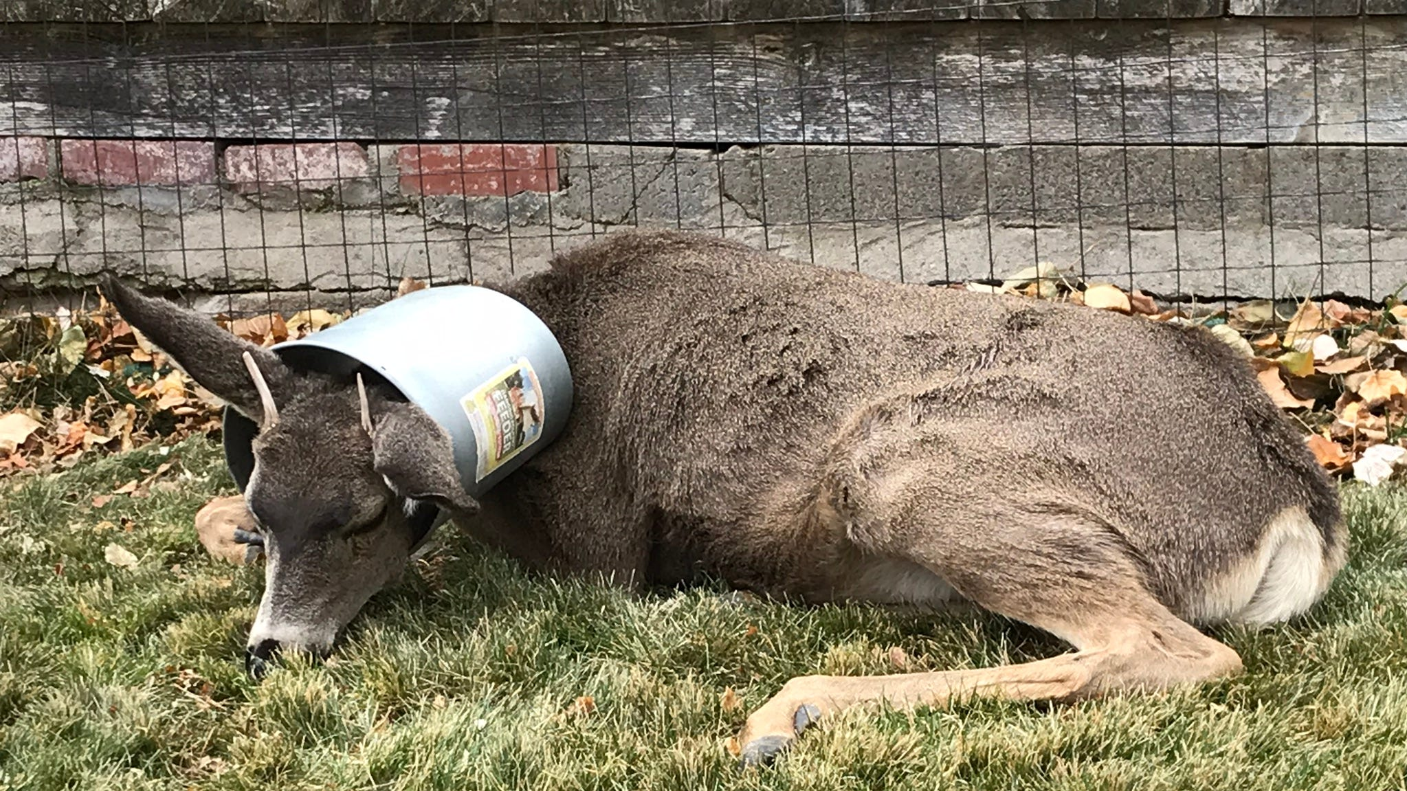A deer in Genoa, Nev., got its head stuck in a bucket. Biologists were able to free the animal on Nov. 13, 2018.