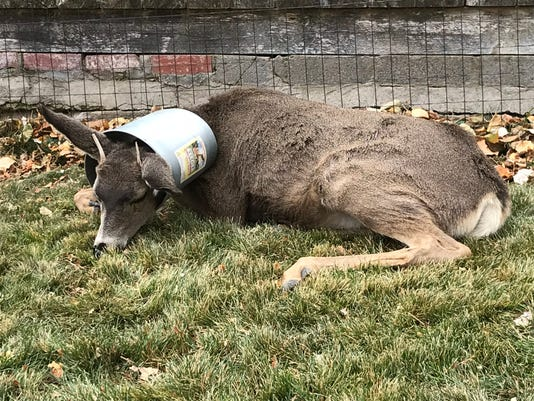 Deer stuck in bucket