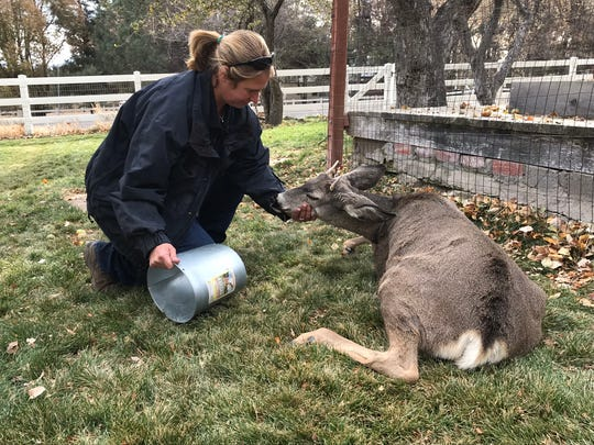 After a couple days of discomfort this deer got its head out of the bucket it was stuck in on Nov. 13, 2018. It had some help from Nevada Department of Wildlife biologist Heather Reich.