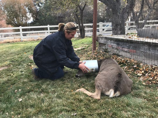 Nevada Department of Wildlife Biologist Heather Reich helps a deer in Genoa, Nev., by removing a bucket from around its neck. Nov. 13, 12018.
