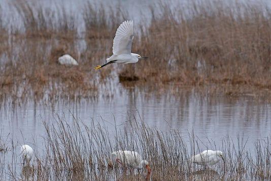 Snowy Egret At St Marks National Wildlife Refuge