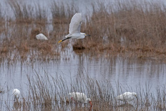 Snowy Egret At St Marks National Wildlife Refuge