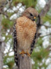 Red-shoulder Hawk  eyes potential prey.