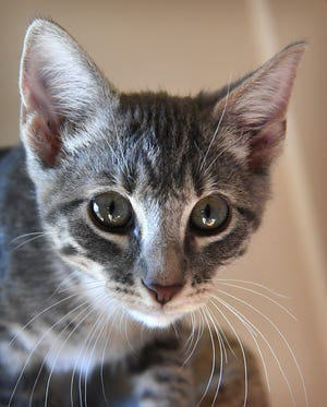 Jo Joe is a 4-month old, male gray tabby, domestic short-haired kitten. He is vaccinated, neutered and microchipped. Jo Joe is playful, likes to snuggle and is available for adoption at the Humane Society of Wichita County.