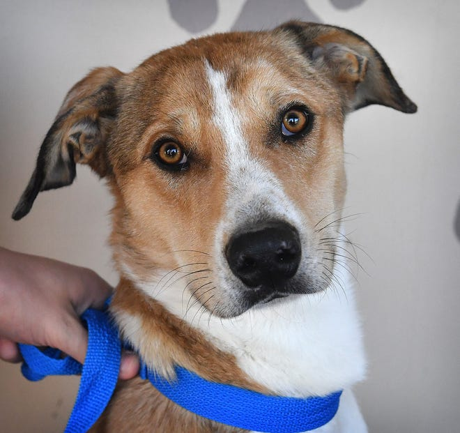 General is a 1- year old, tan and white brindle, large mixed breed. He is neutered, vaccinated and microchipped. General is sweet, gets along well with other dogs and children and is available for adoption at the Humane Society of Wichita County.