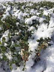Snow last week caused some farmers across the state to give up on the idea of fourth crop hay.