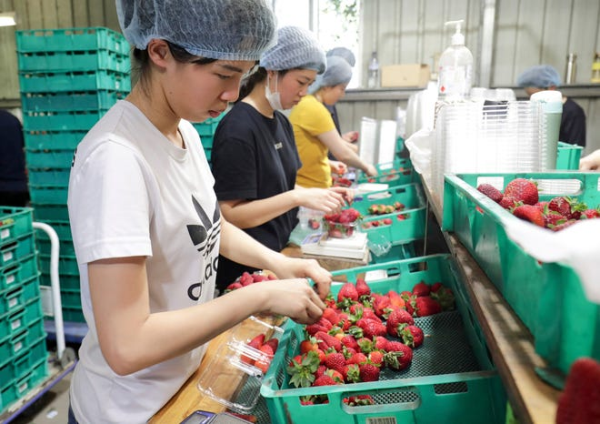Workers sort and pack strawberries at the Chambers Flat Strawberry Farm in Chambers Flat, Queensland, Australia. A former strawberry farm worker appeared in an Australian court on Monday charged with planting sewing needles in the fruit, sparking a nationwide crisis which devastated the industry.