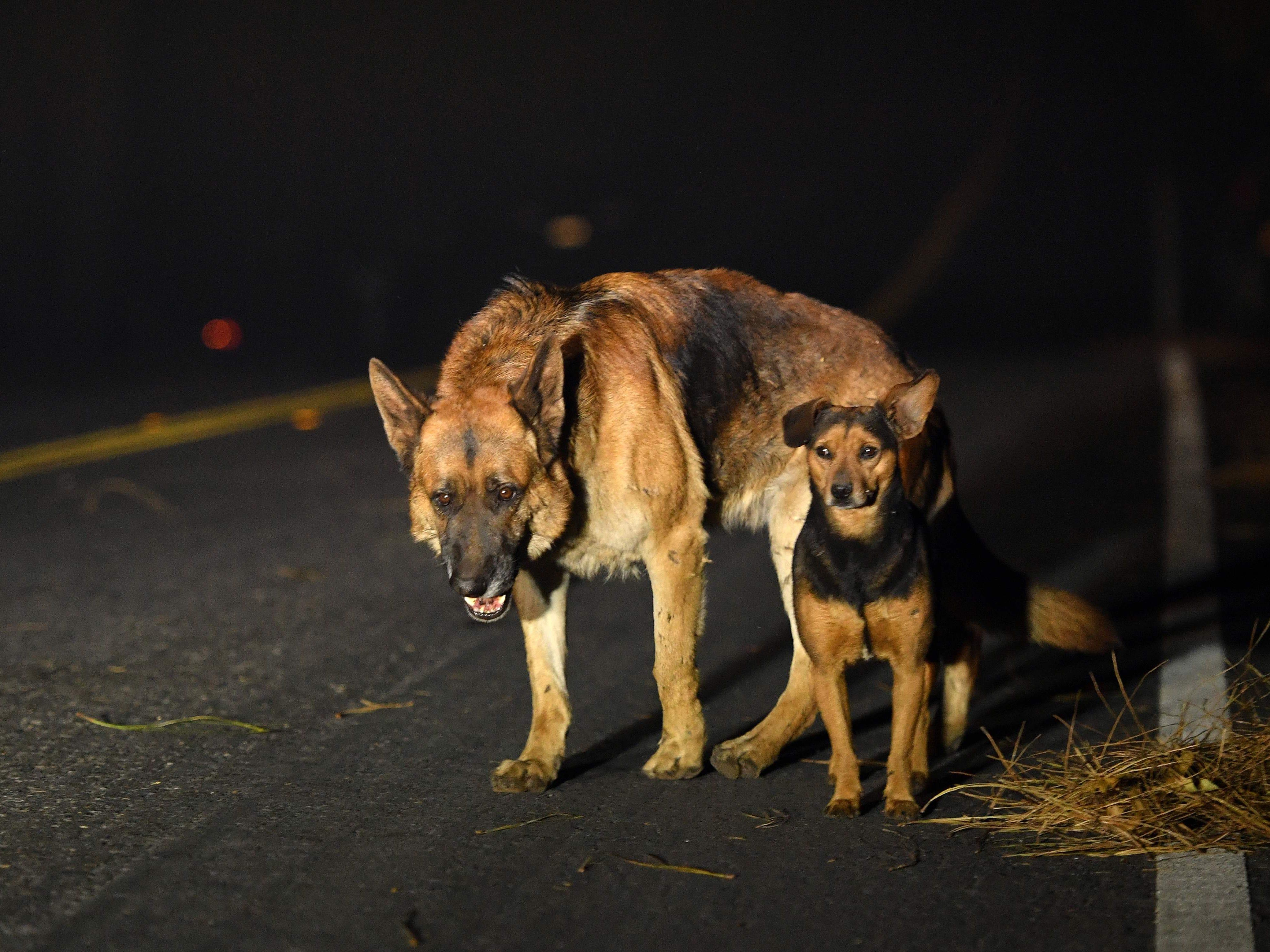 Dogs roam burned out neighborhoods as the Camp fire tears through Paradise, north of Sacramento, Calif., Nov. 08, 2018.