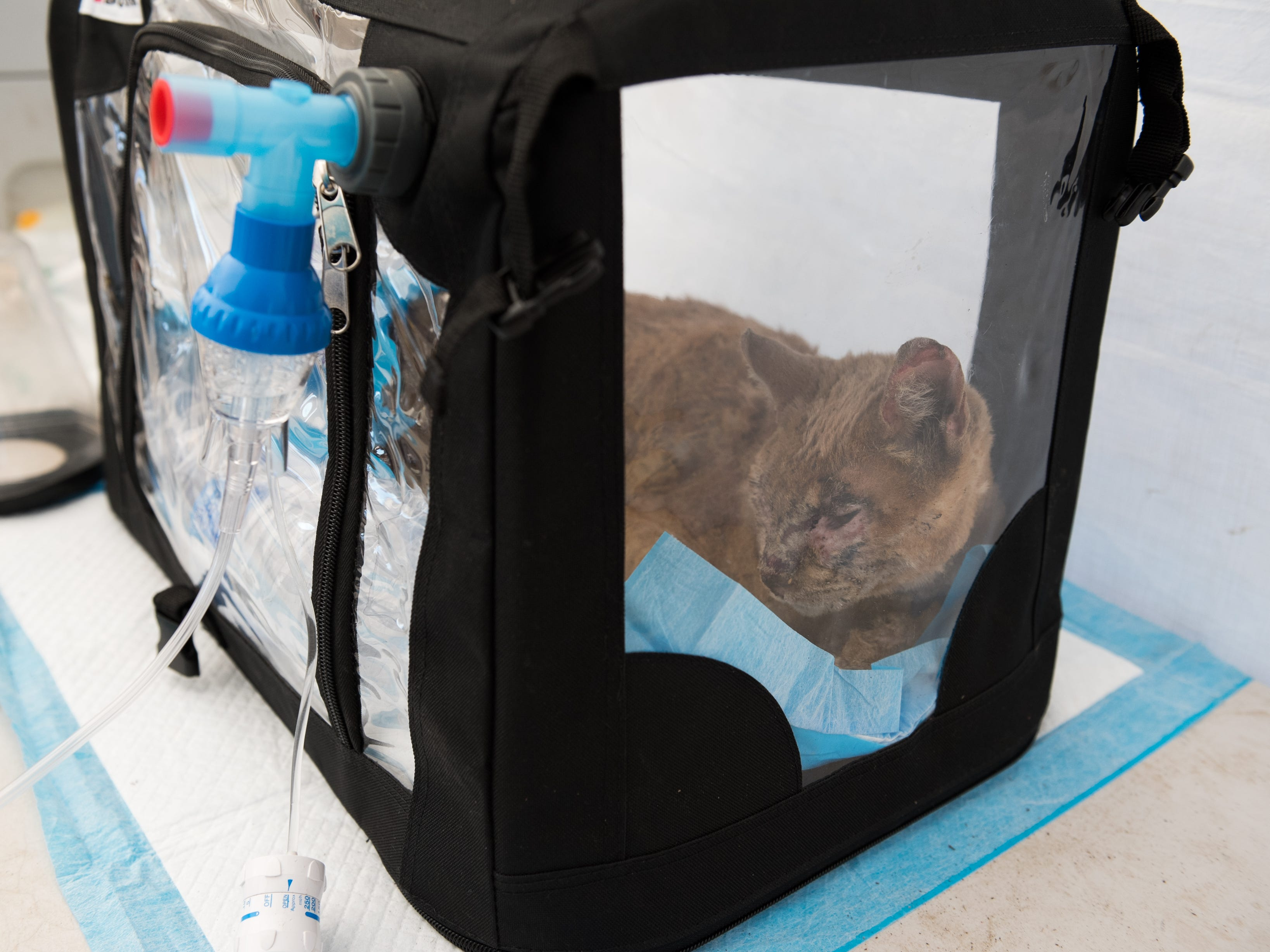 A cat is treated for burns and smoke inhalation from the Woolsey Fire. Volunteer veterinarians with Veterinary Angels and The Little Angels Project, created a tent at Pierce College in Woodland Hills, Calif., to treat animals injured or displaced by the fires.