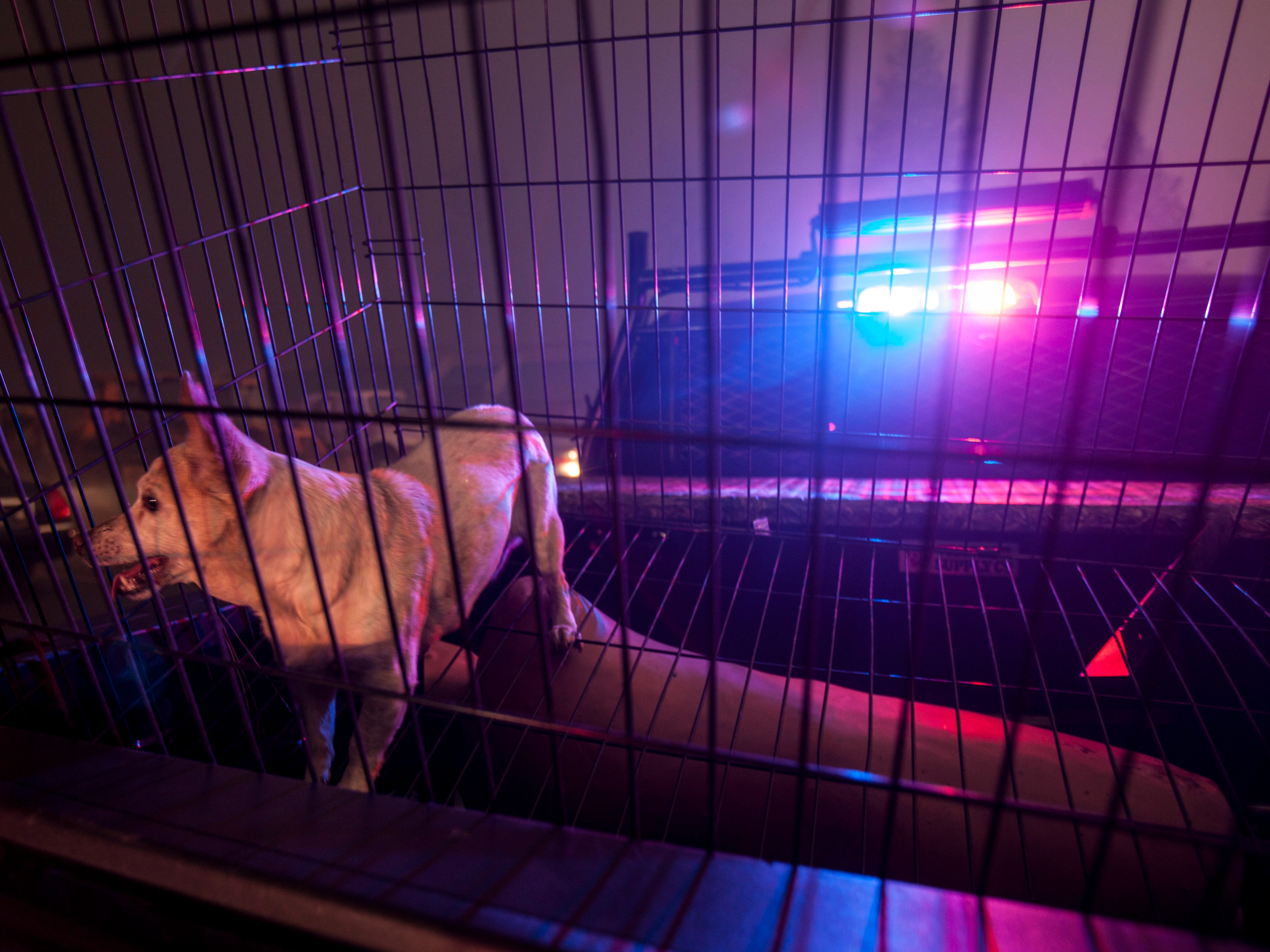 One of the dogs rescued by Redding, Calif. police sits in a cage as the Camp Fire burns out of control through Paradise, fueled by high winds in Butte County, Calif., Nov. 8, 2018.