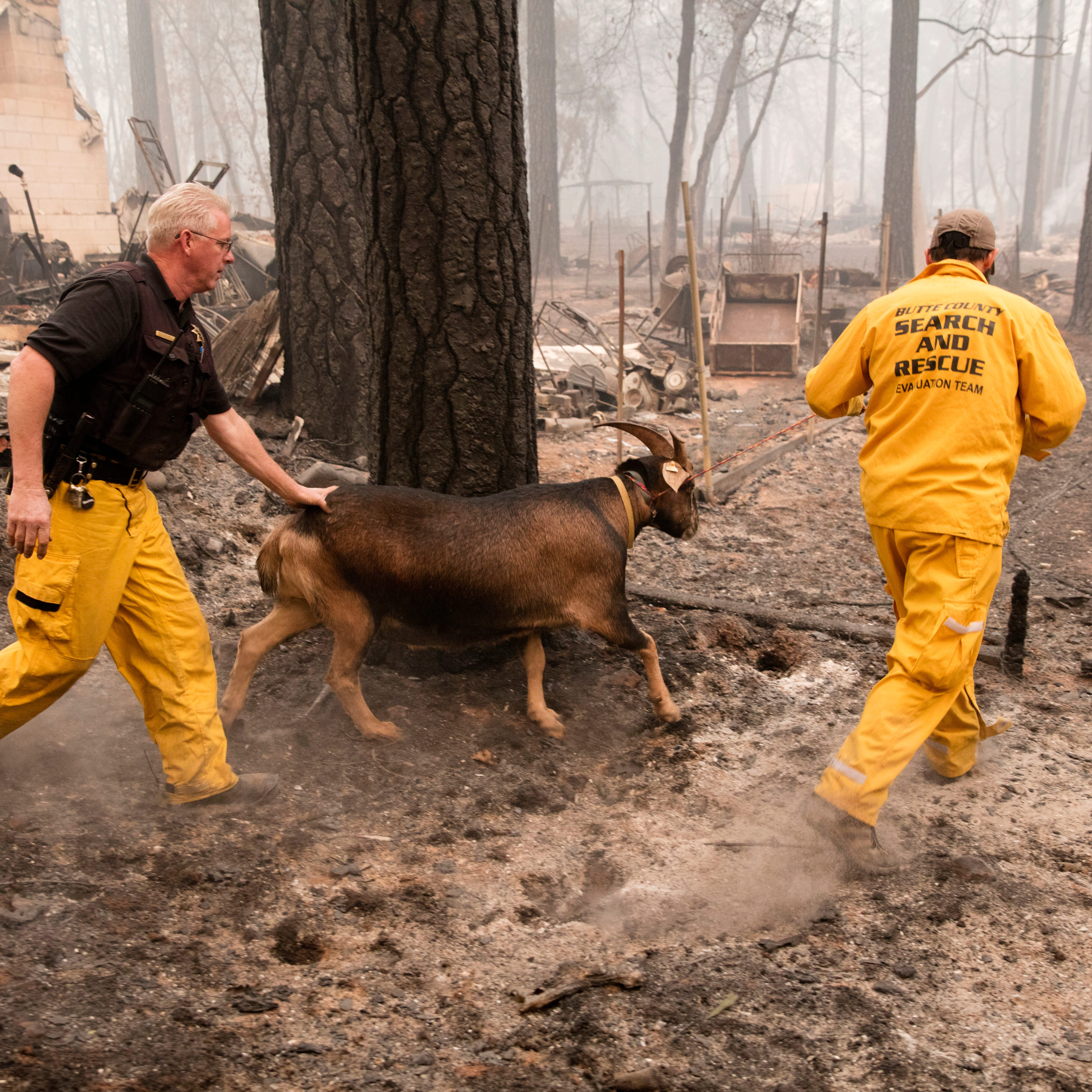 Butte County Sheriff Search and Rescue crews guide an abandon goat to a corral where other abandoned animals temporally held as the Camp Fire continues to burn through the region, fueled by high winds in Butte County, Calif., Nov. 10, 2018.