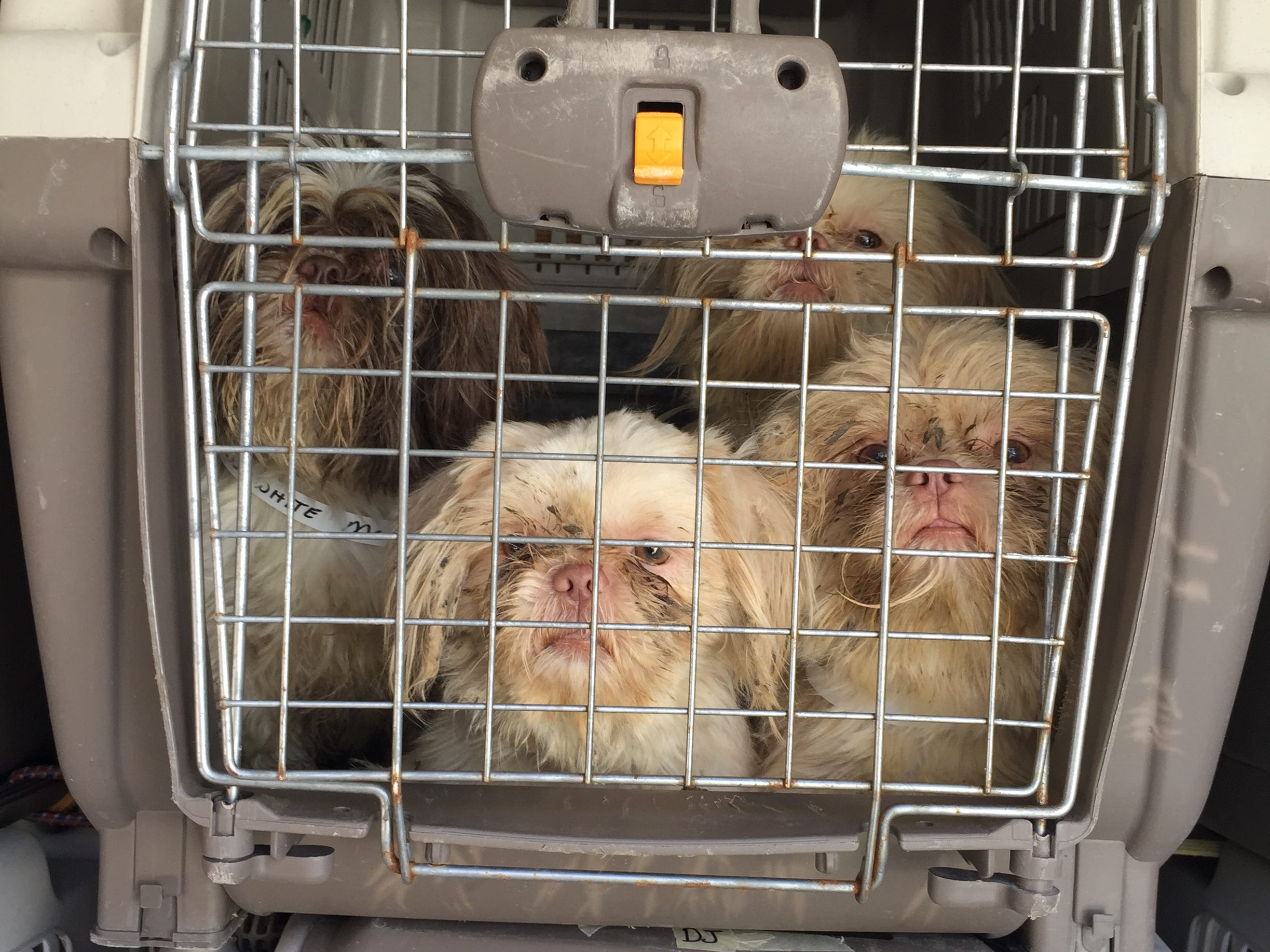 Rescue the Animals, SPCA worked with the Callahan County Sheriff's Office to seize 78 Shih Tzu dogs from a rural residence east of Abilene, Texas on Wednesday, Nov. 14, 2018.