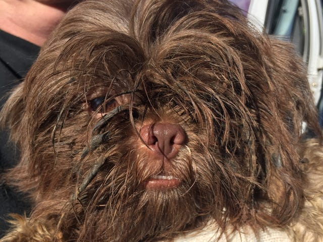 About 80 Shih Tzu dogs seized from rural house in Callahan