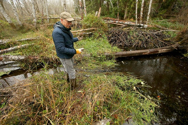 Jim Aho talks about the beaver dam to his right in Barker Creek behind Central Kitsap Presbyterian Church. While concerns are sometimes raised about dams thwarting the return of salmon to area streams, Fish and Wildlife experts say the beavers' work is often crucial to their habitat.