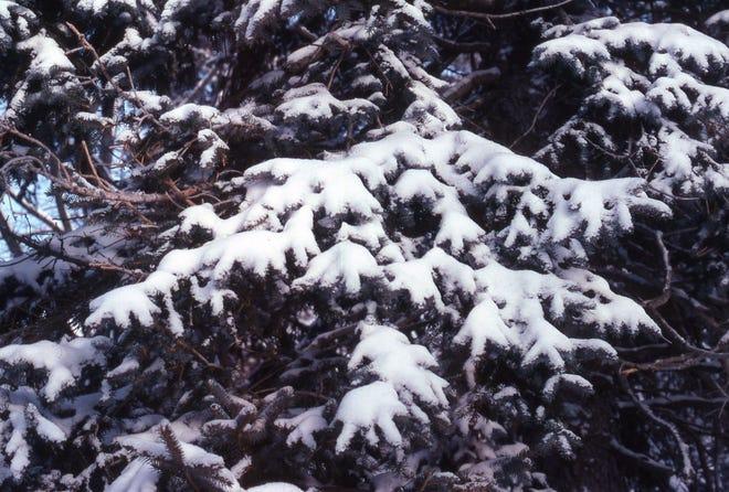A snow-covered blue spruce enhances the winter landscape.