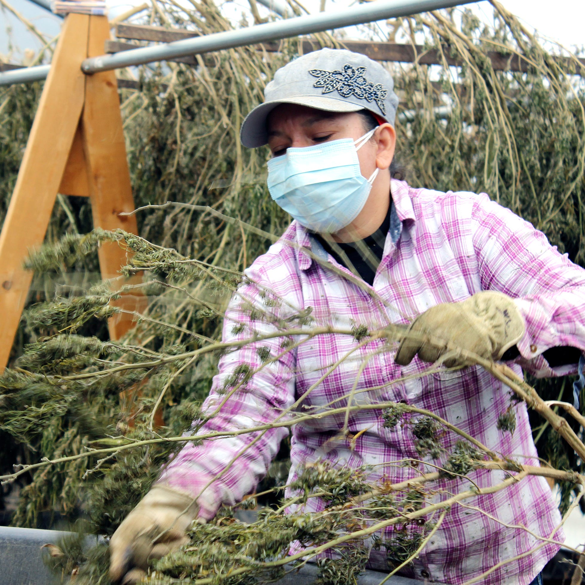 'A new gold rush': Tennessee hemp farming rises 1,100% in one year. Is it growing too fast?
