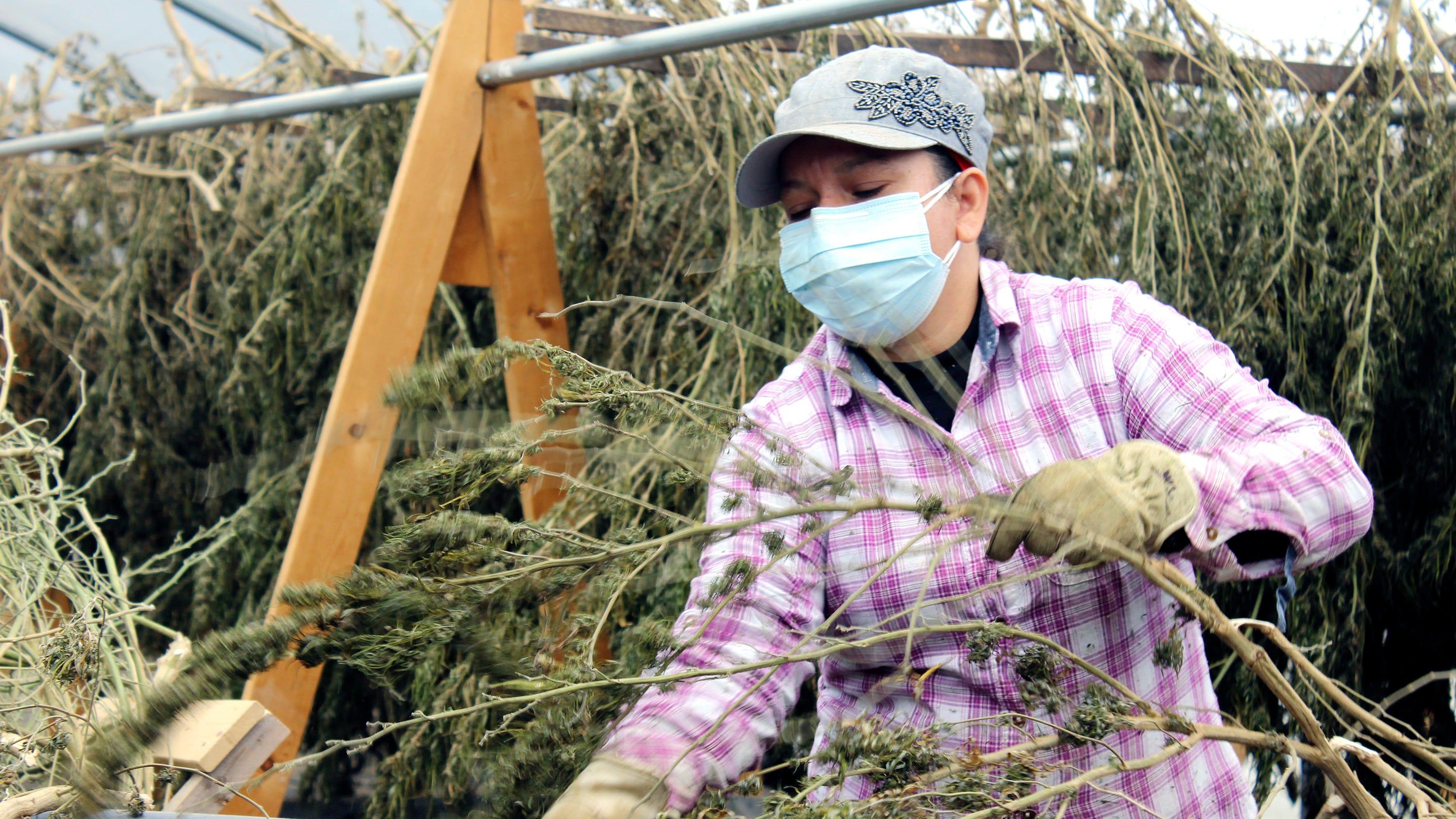 Trump legalizes hemp and CBD with Farm Bill, aiding Tennessee farmers