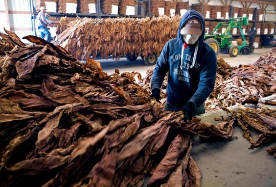 Workers at Kyle Owen's farms in Carthage prepare tobacco for market in a barn on Thursday, Nov. 8, 2018.  Owen is a career tobacco farmer and planted hemp for the first time this year.