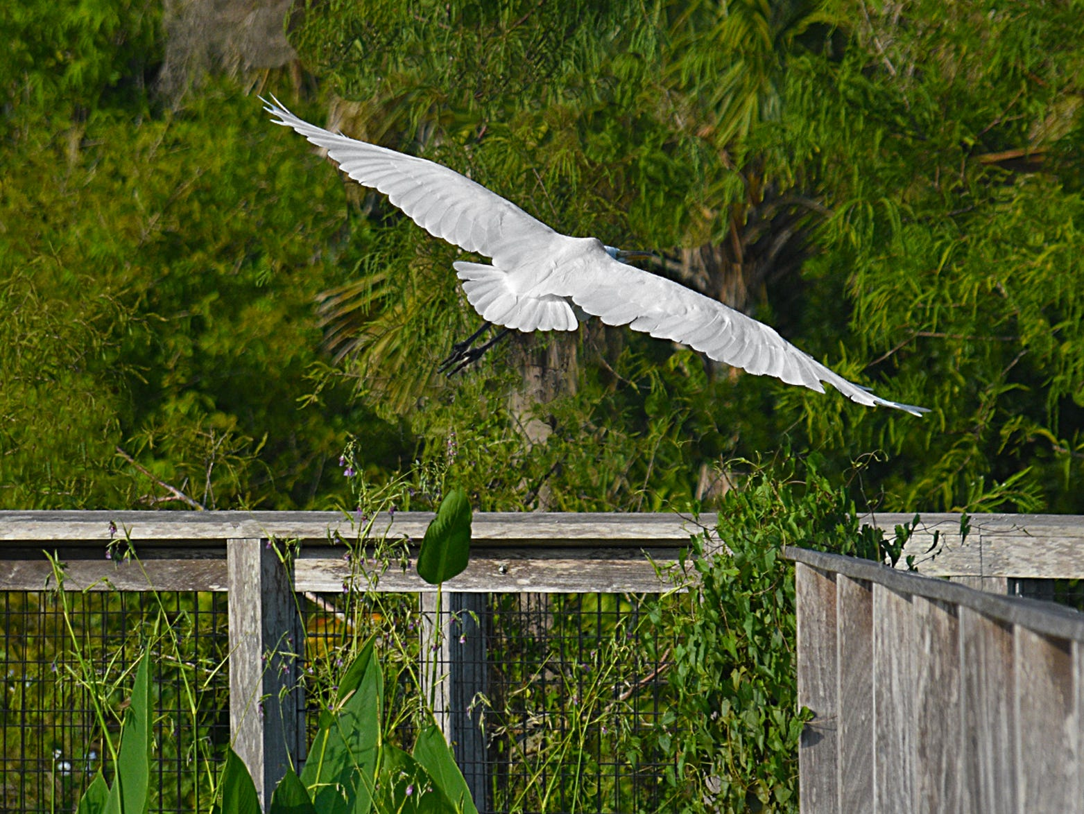 A Great White Egret soars over the boardwalk at the Fred W. Coyle Freedom Park located near downtown Naples.