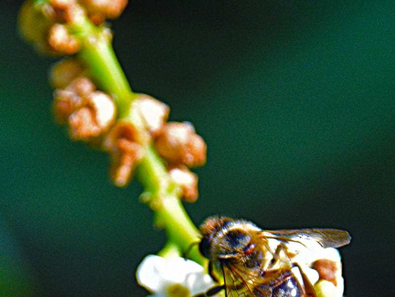 A bee pollinates a Chinese Arrowhead plant within the Fred W. Coyle Freedom Park. The Park is a favorite spot near downtown Naples to observe nature.