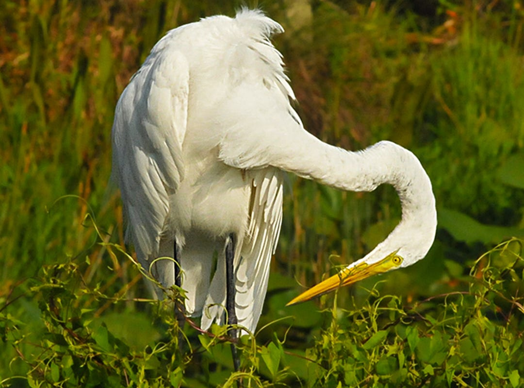 A Great White Egret prunes its feathers at the Fred W. Coyle Freedom Park located near downtown Naples.  Frequent wildlife sightings include red shouldered hawks, a barred owl, pileated woodpeckers, green herons, raccoons, gray squirrels, river otters, armadillos, alligators, turtles, snakes and frogs.