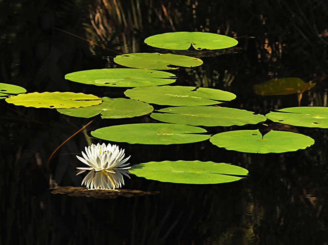 An American White waterlily is just one of many species found in the Fred W. Coyle Freedom Park in Naples. These lilies can be cultivated in aquatic gardens as an ornamental plant and has both medicinal and edible parts.