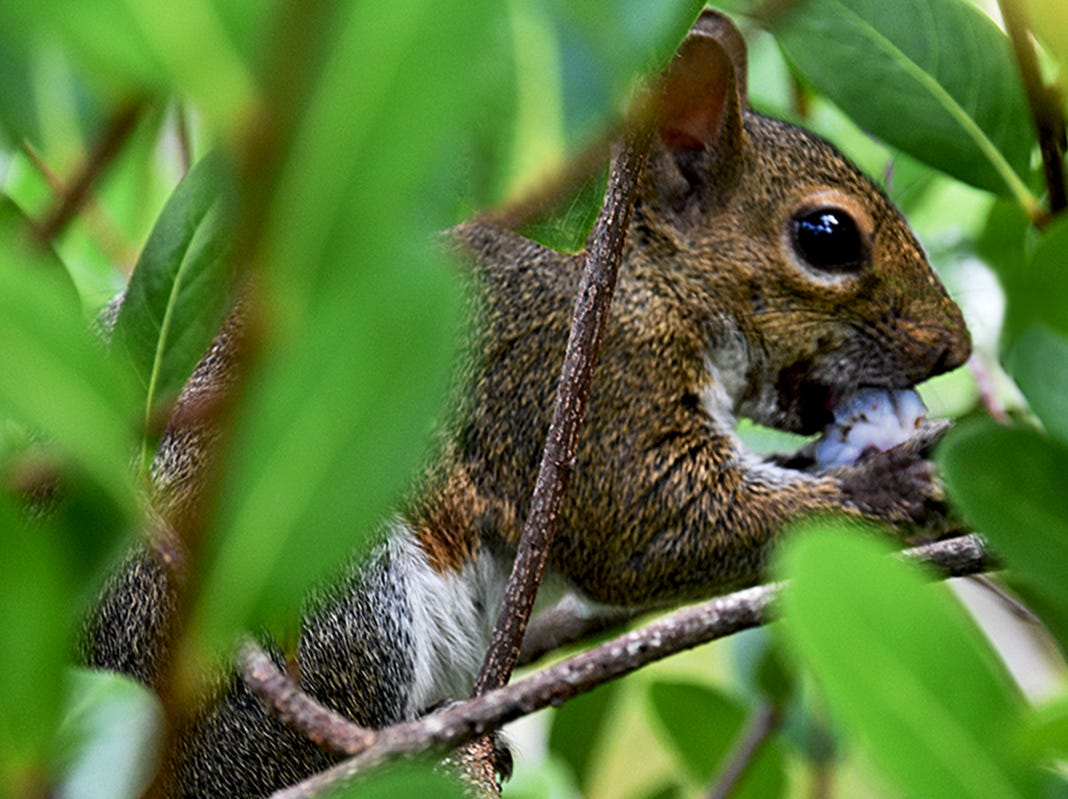 This Eastern Gray squirrel hides in a bush while nibbling on a wild huckleberry along the boardwalk at the Fred W. Coyle Freedom Park in Naples. The park is the home to much wildlife.