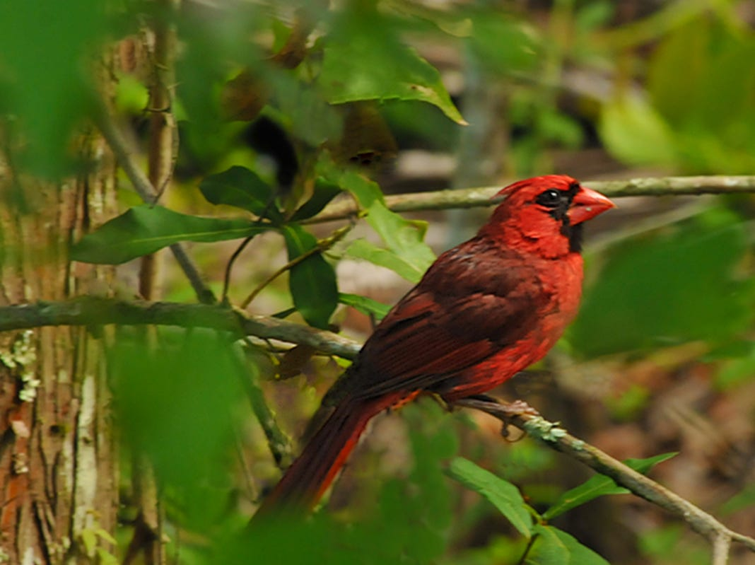 A cardinal is spotted from the boardwalk within the Fred W. Coyle Freedom Park. Other feathered creatures are known to occupy the park such as a barred owl, pileated woodpeckers, green herons, great blue herons, little blue herons, and great white herons.