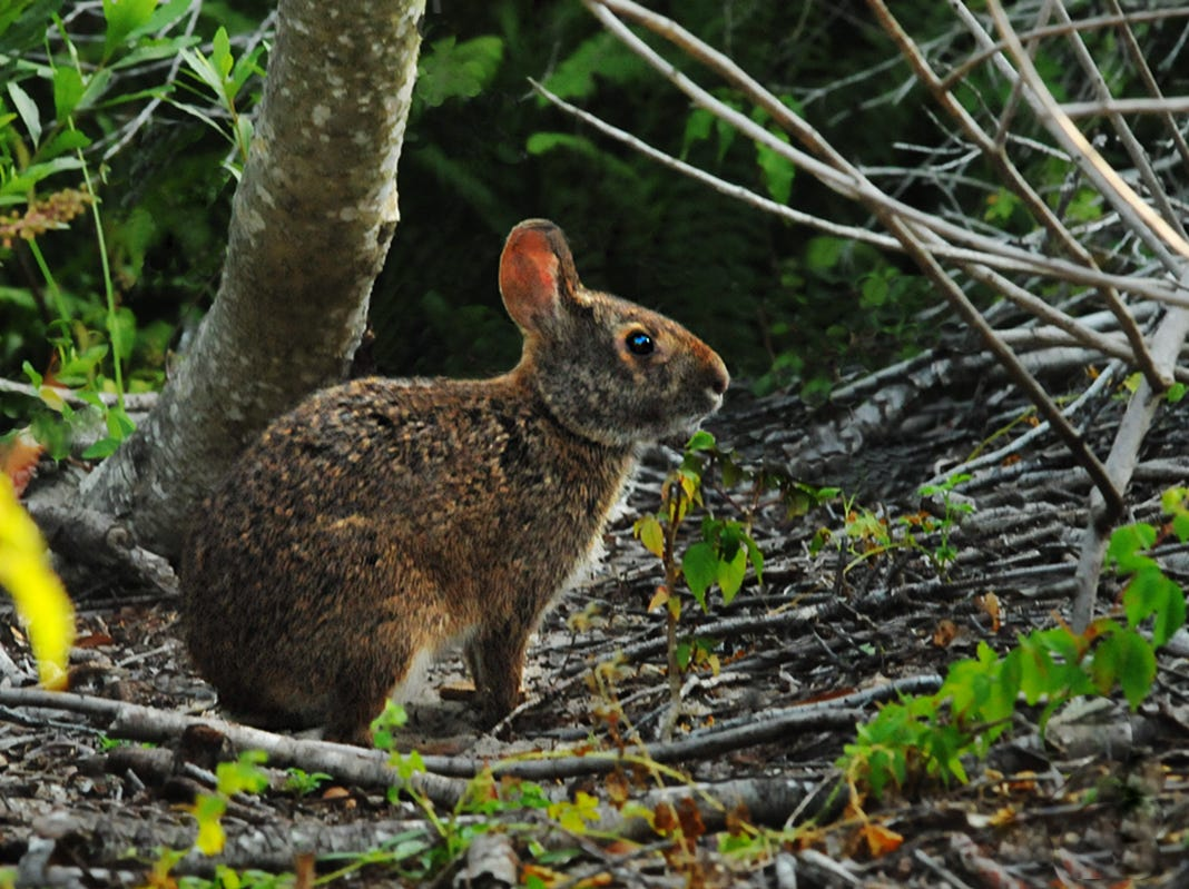 A Florida Marsh rabbit hides in the brush at the Fred W. Coyle Freedom Park in Naples. It is a strong swimmer and found only near regions of water. They are similar in appearance to the Eastern Cottontail but have  smaller ears, legs, and tail.