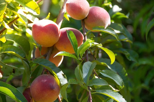 Many varieties of fruit trees suited to the Space Coast's climate will be available at the Brevard Tropical Fruit Club's sale on Saturday, April 24, 2021
