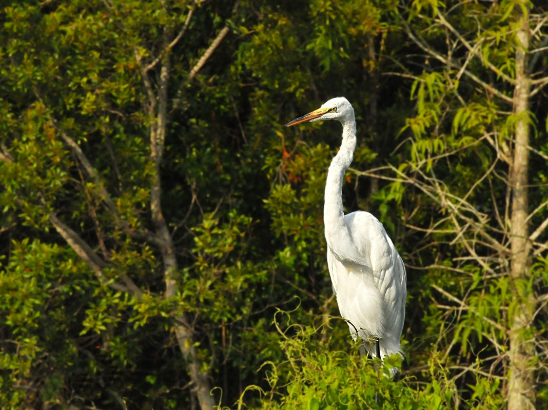 A Great White Egret watches over things at the Fred W. Coyle Freedom Park located near downtown Naples.  Frequent wildlife sightings include red shouldered hawks, a barred owl, pileated woodpeckers, green herons, raccoons, gray squirrels, river otters, armadillos, alligators, turtles, snakes and frogs.