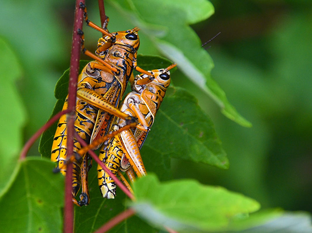 A pair of Eastern lubber grasshoppers are seen at the Fred W. Coyle Freedom Park near downtown Naples.