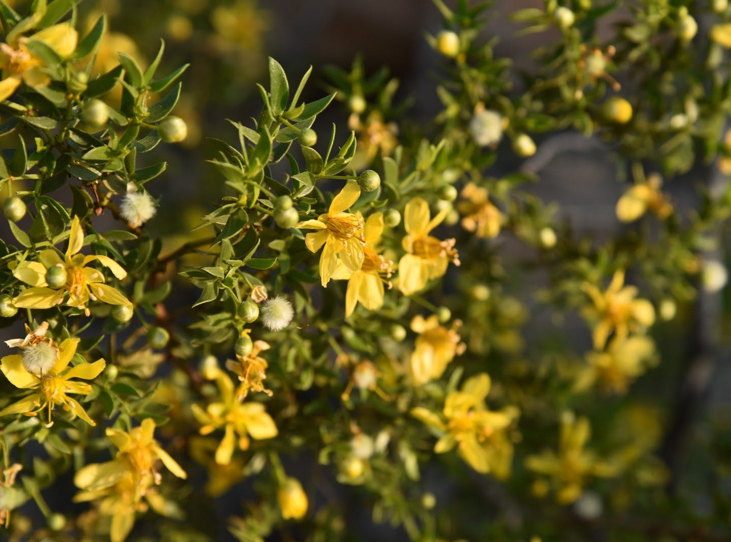 Creosote bloom along the trails in Skyline Regional Park.