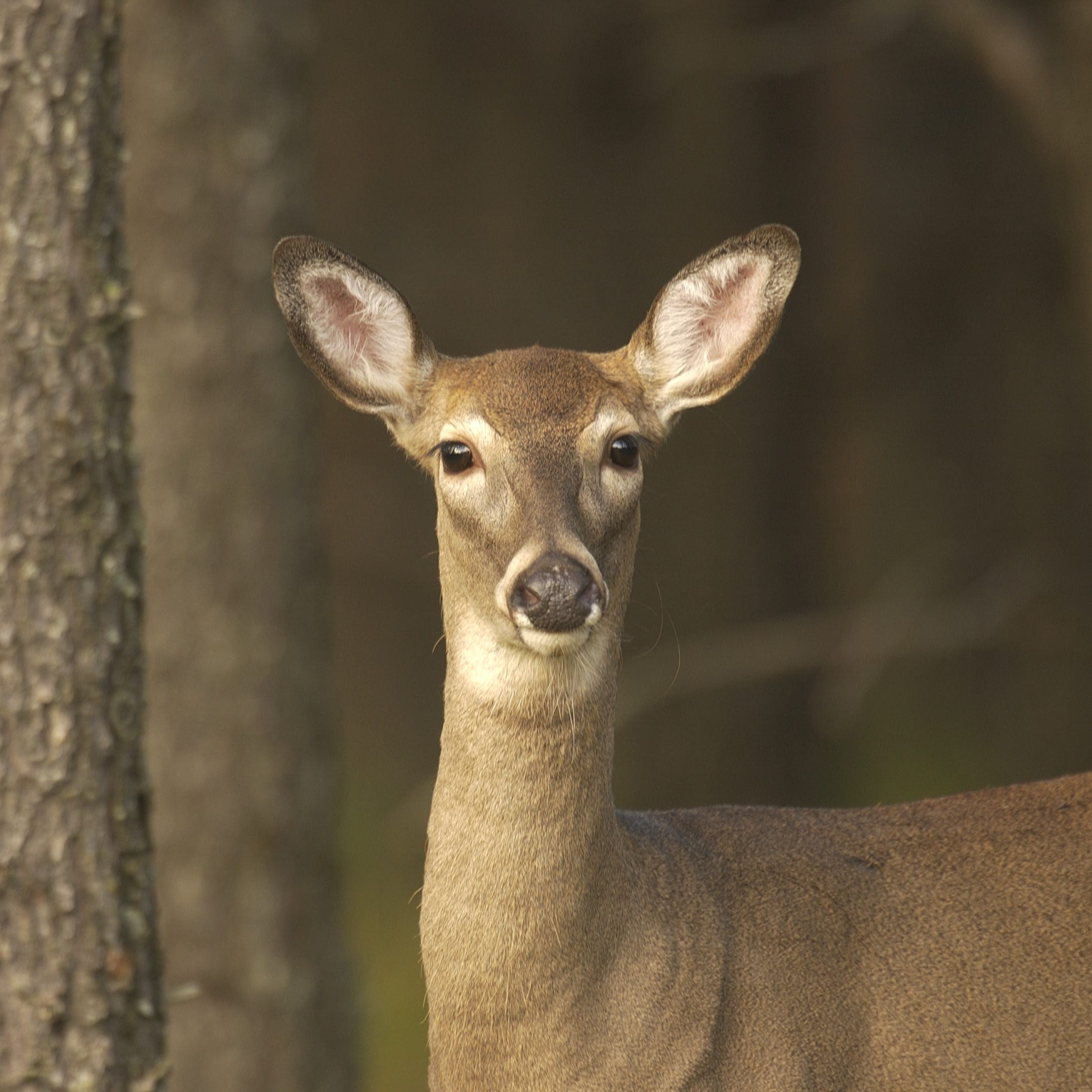 Deer in your headlights? It's better to hit it than to swerve