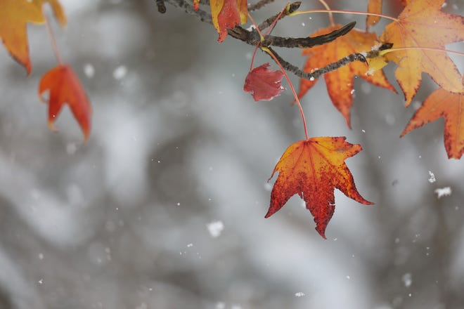 Snowflakes fall on to a tree that still hasn't lost all its leaves.