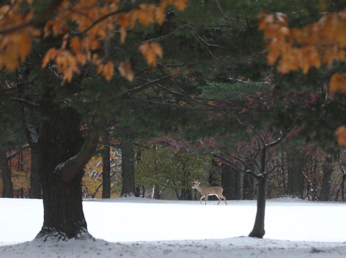Deer walks through the snow on Nov. 14.