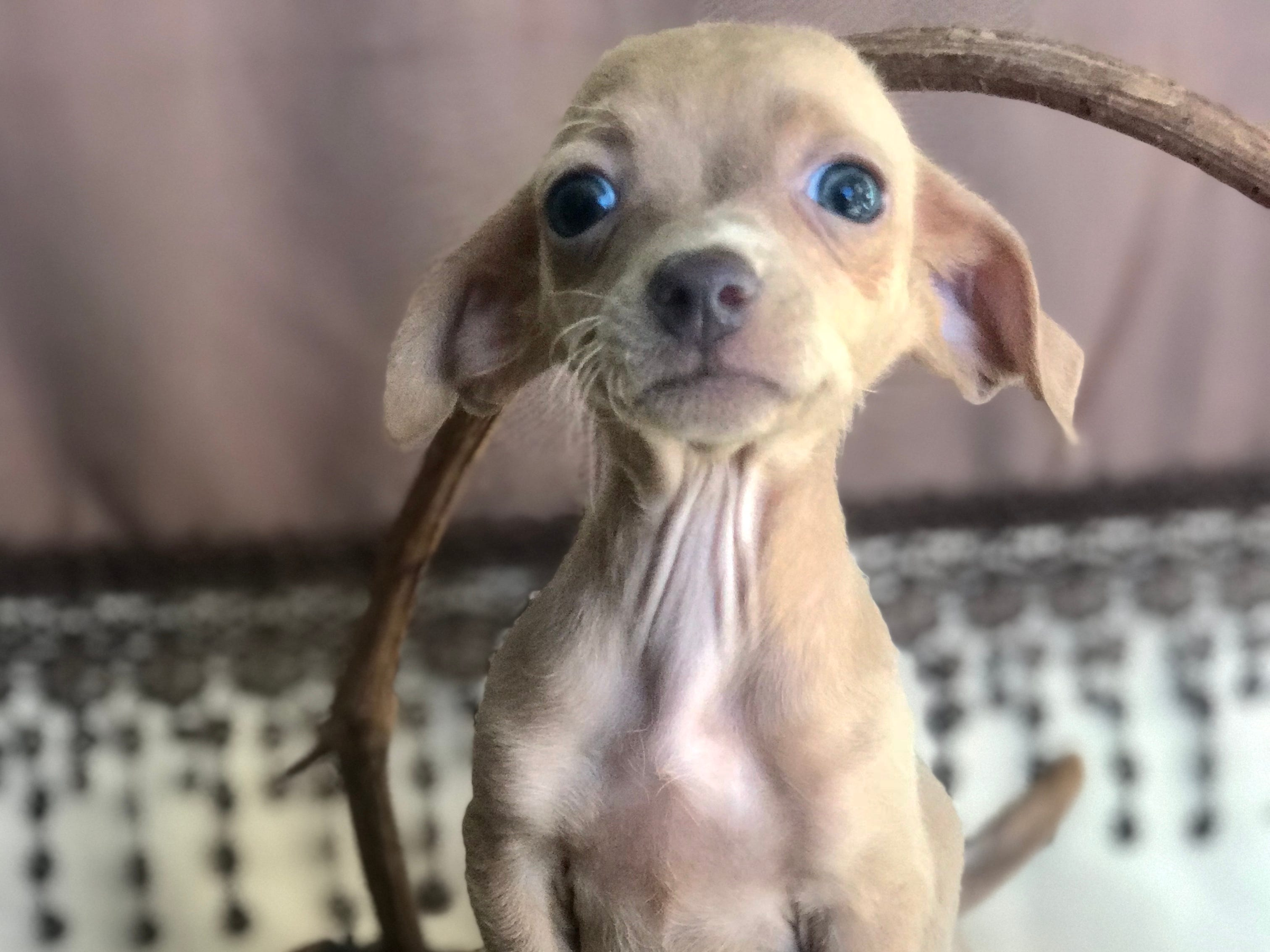 Astoria is a petite, 3-month-old female Chihuahua-dachshund mix who does well with other dogs and is learning about cats. She'd best in a family with children ages 11 and older because of her small size.  Visit Tails of Rescue Adoption Center, 981 Lake Blvd., Redding. Call 448-7444. Go to http://tailsofrescue.org.