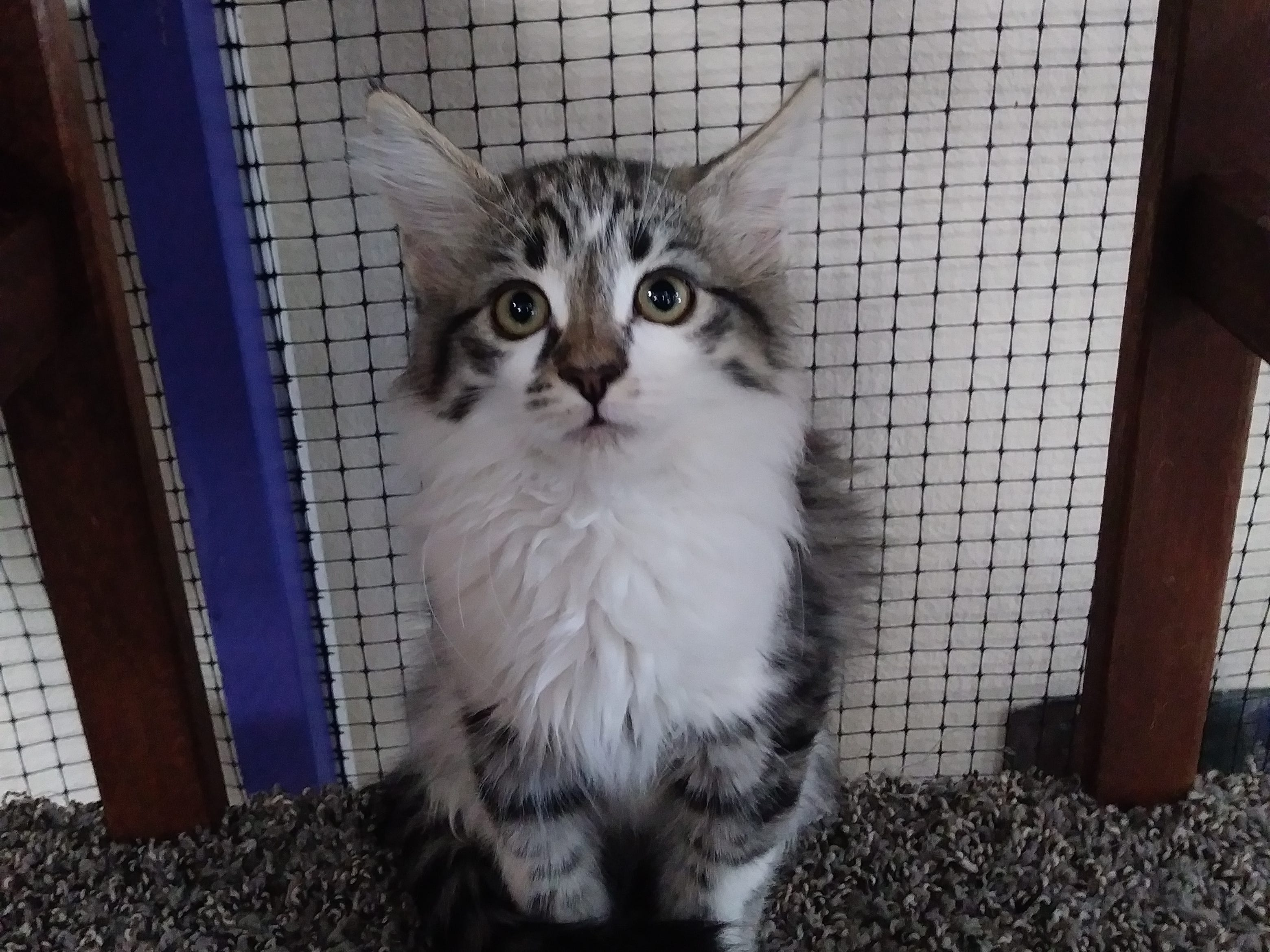 Starla is a beautiful, 4-month-old, long-haired female kitten. She's a little shy, but warms up to her new surroundings. Email Spay Neuter and Protect at Snap.spayneuterandprotect@gmail.com. Call 209-6966.