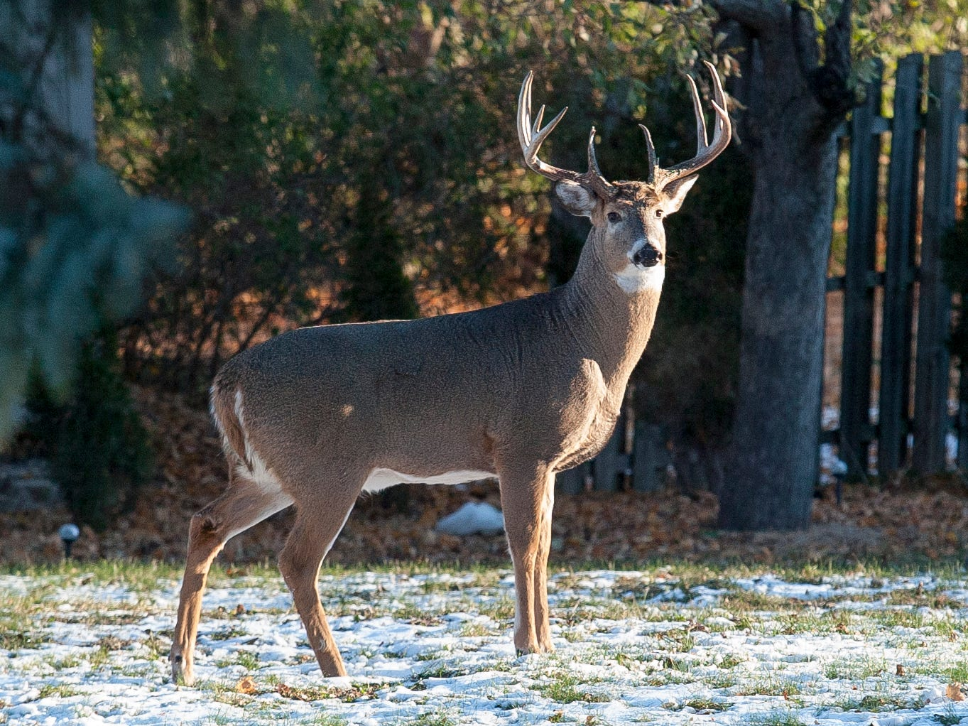A buck scans the backyard in a City of Sheboygan home in the 1000 block of N. 23rd Street, Wednesday November 14, 2018, in Sheboygan, Wis.
