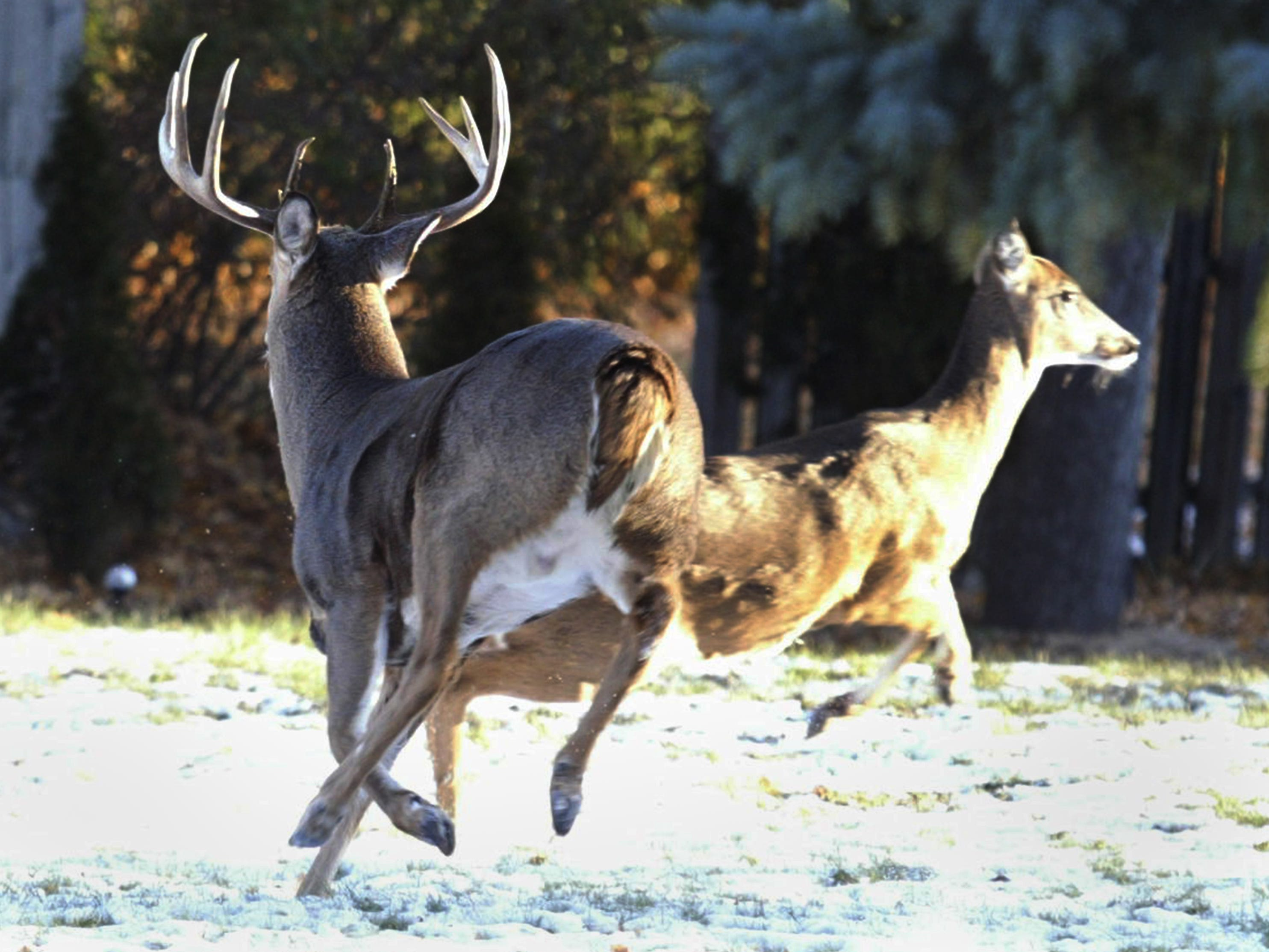 A buck and a doe prance around in the back yard of a City of Sheboygan home in the 1000 block of N. 23rd Street, Wednesday November 14, 2018, in Sheboygan, Wis.