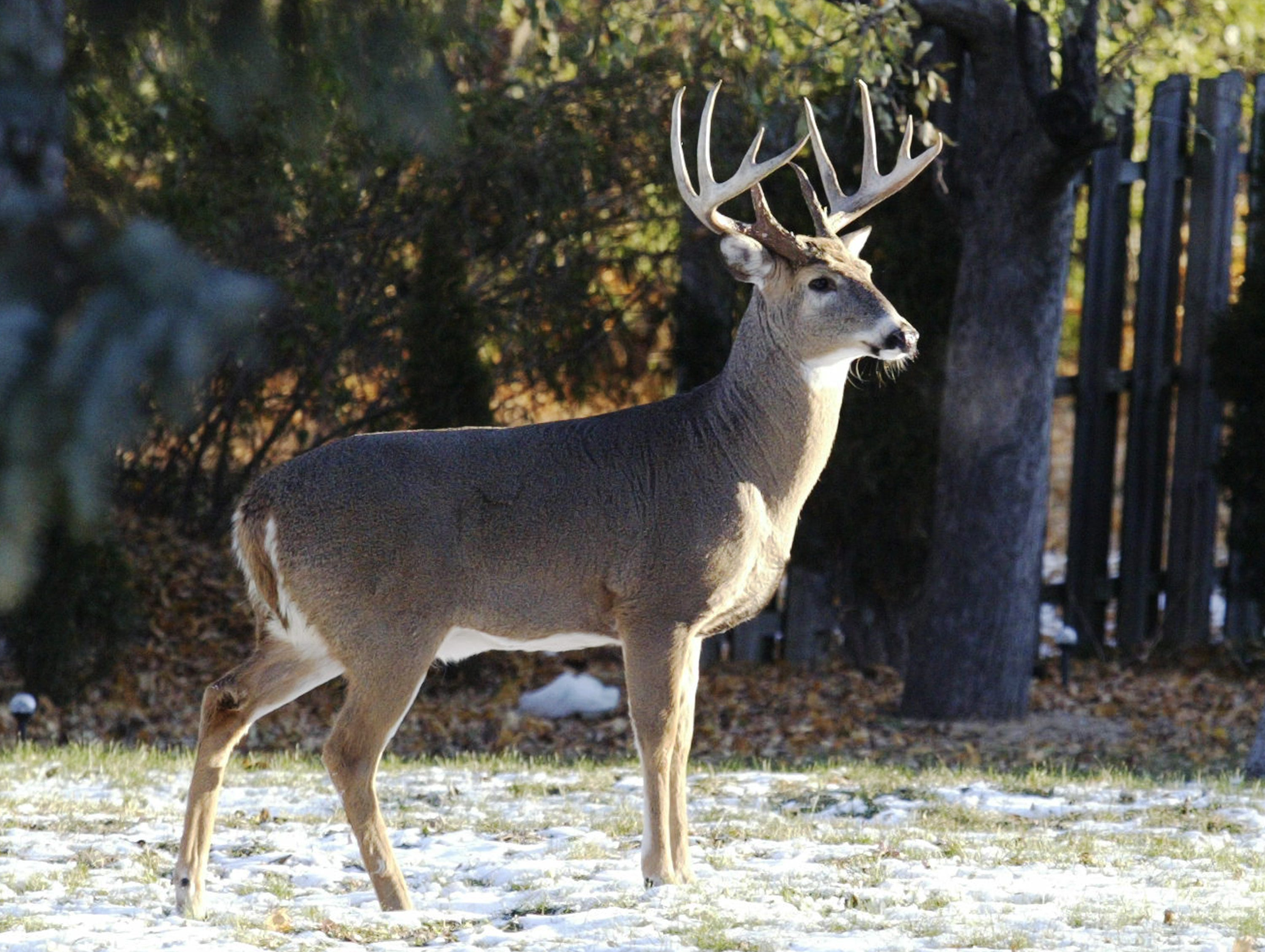 A buck stands in the backyard of a City of Sheboygan home in the 1000 block of N. 23rd Street, Wednesday November 14, 2018, in Sheboygan, Wis.