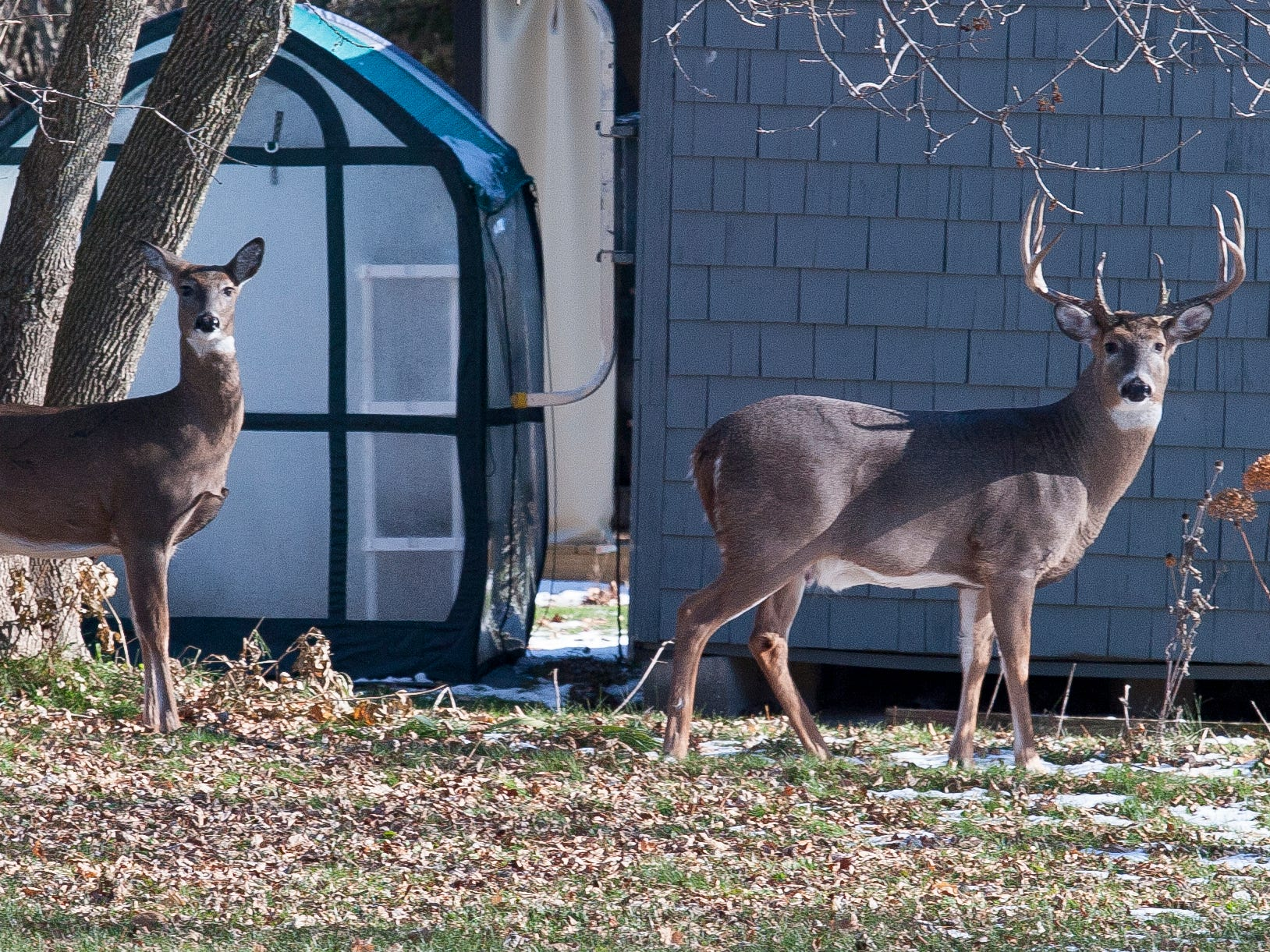 A pair of deer peer back at the photographer in the 1000 block of North 23rd Street, Wednesday November 14, 2018, in Sheboygan, Wis.