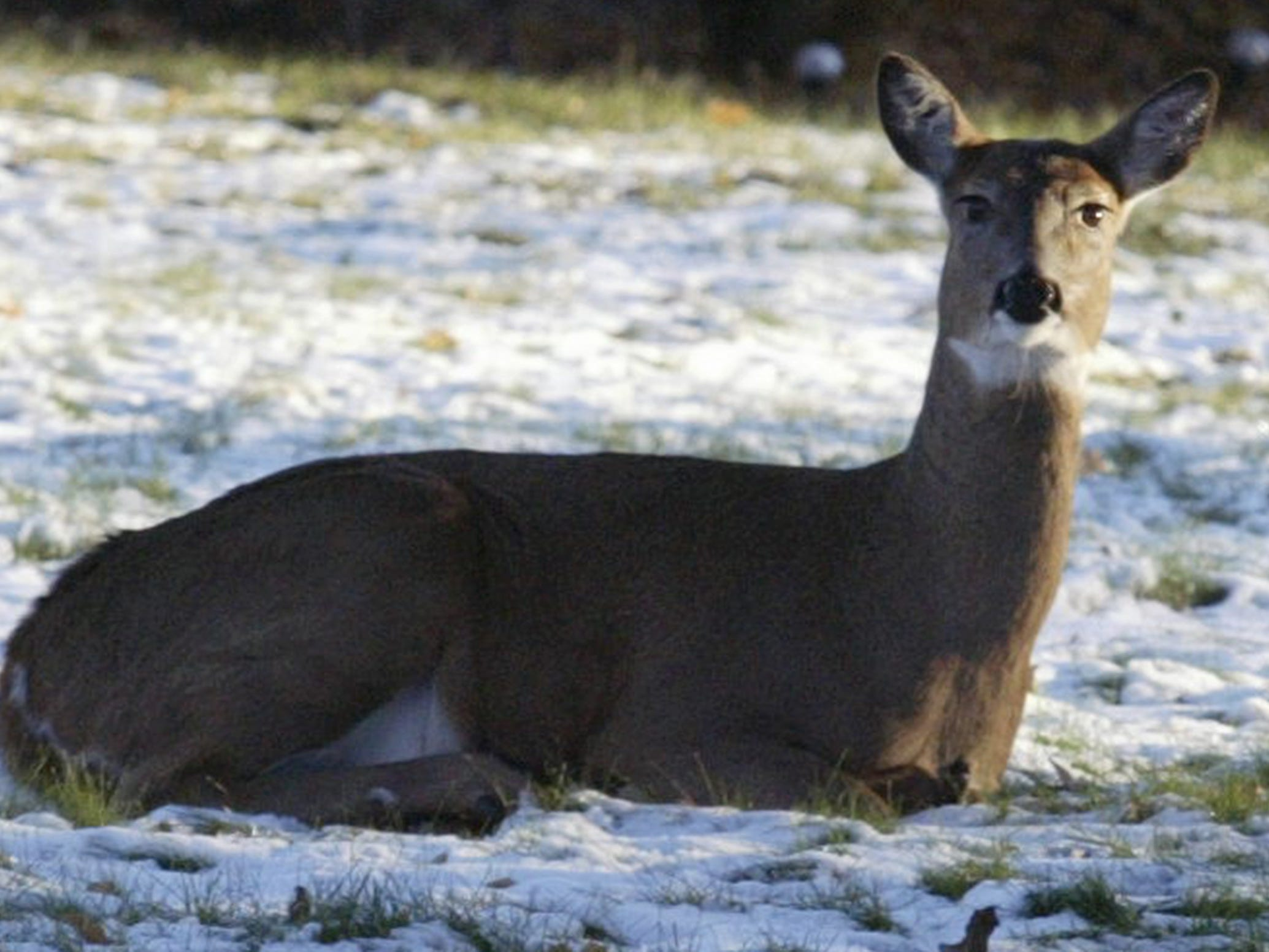 A doe sits low in the back yard of a City of Sheboygan home in the 1000 block of N. 23rd Street, Wednesday November 14, 2018, in Sheboygan, Wis.