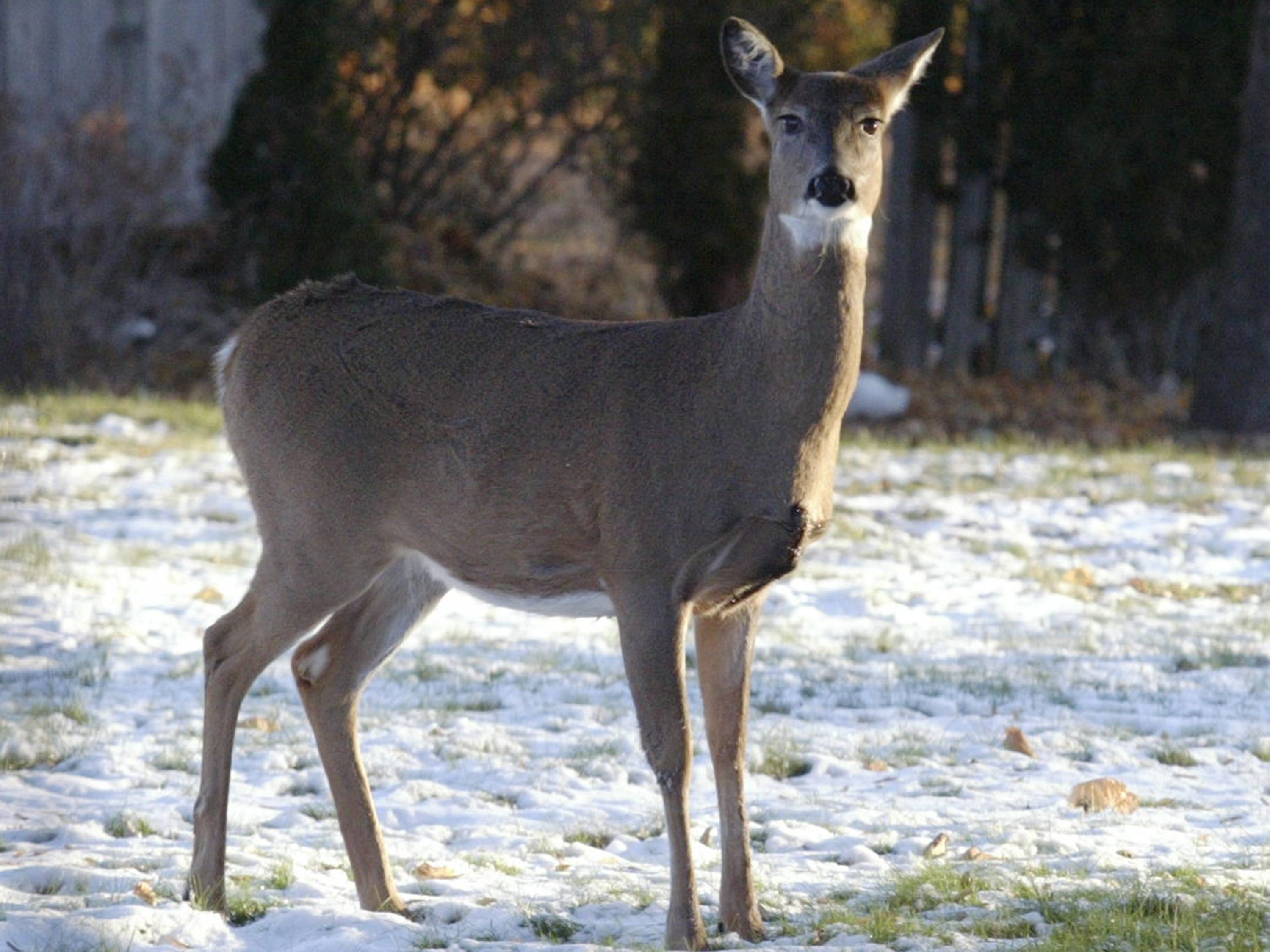 A doe looks about in the back yard of a City of Sheboygan home in the 1000 block of N. 23rd Street, Wednesday November 14, 2018, in Sheboygan, Wis.
