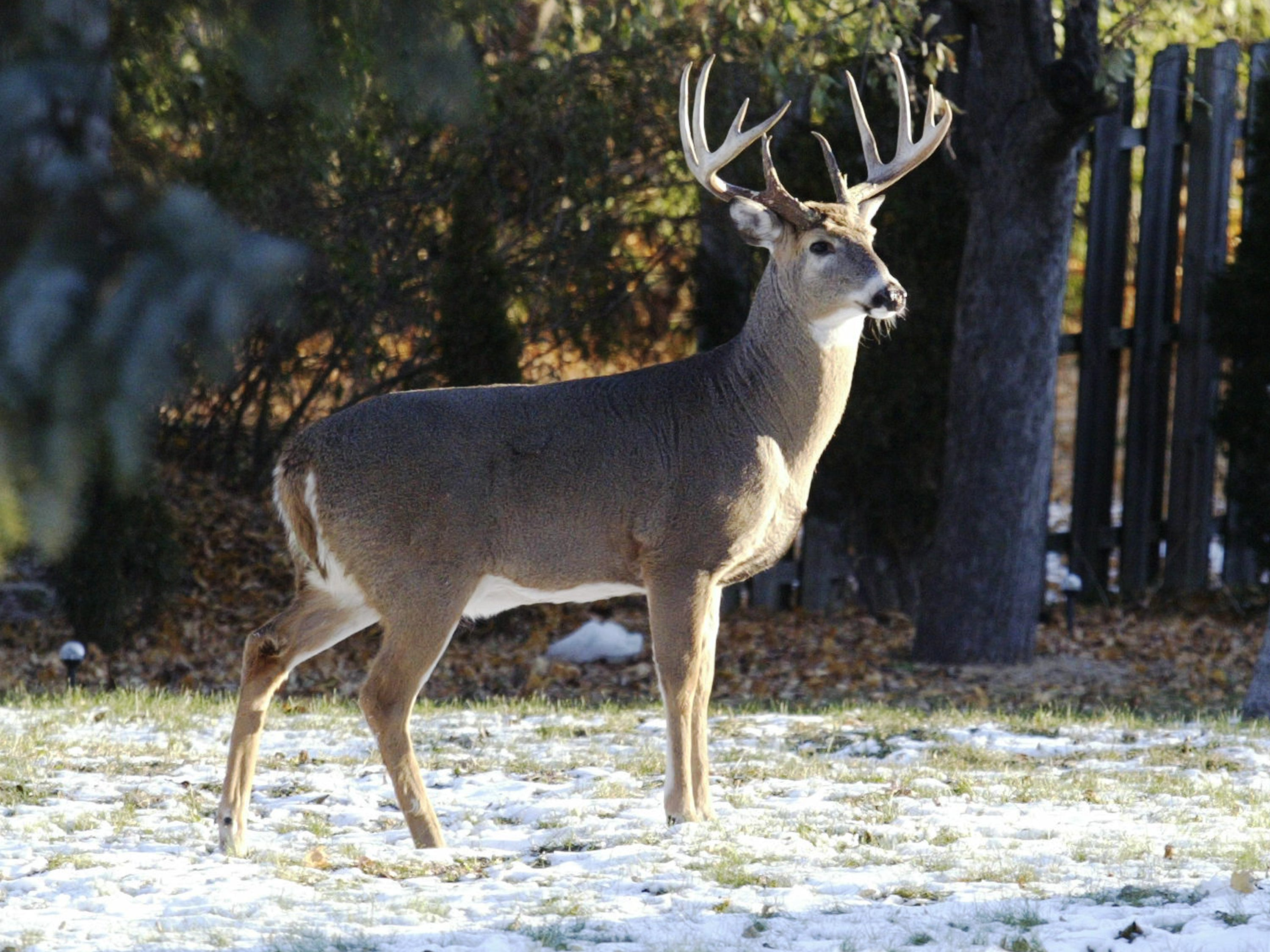 A buck stands in the backyard of a Sheboygan home in the 1000 block of N. 23rd Street, Wednesday November 14, 2018, in Sheboygan, Wis.