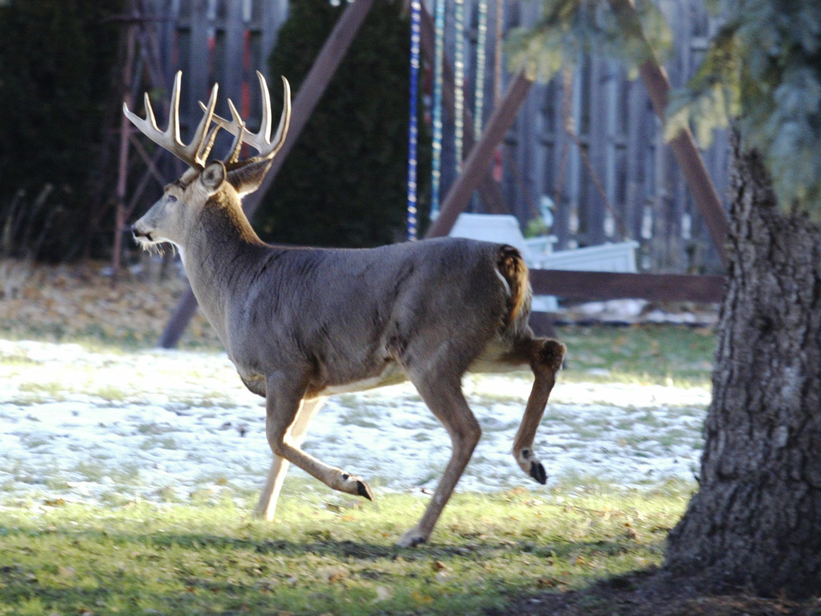 A buck prances in the backyard of a Sheboygan home in the 1000 block of N. 23rd Street, Wednesday November 14, 2018, in Sheboygan, Wis.