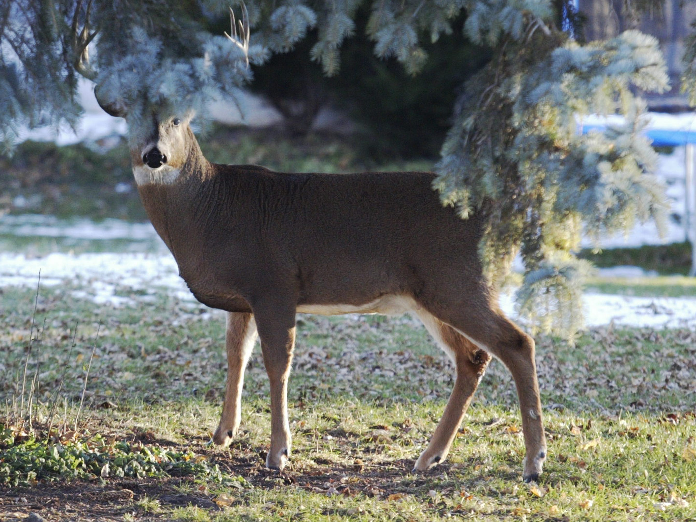 A buck peers through pine branches in the backyard of a Sheboygan home in the 1000 block of N. 23rd Street, Wednesday November 14, 2018, in Sheboygan, Wis.